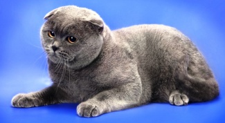 Scottish fold is the breed characteristics