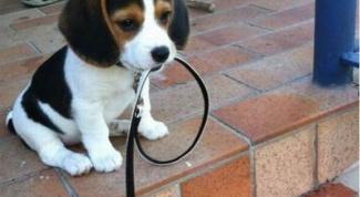Как приучить щенка к ошейнику без стресса