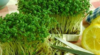 Как вырастить салат на подоконнике зимой