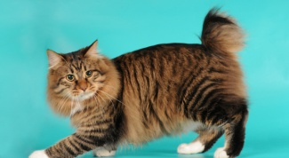 Породы кошек: американский бобтейл
