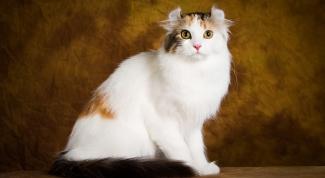 Породы кошек: американский керл