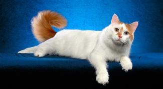 Породы кошек: анатолийская
