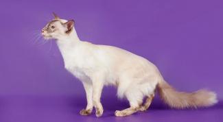 Породы кошек: балийская