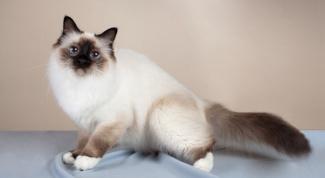 Породы кошек: бирманская