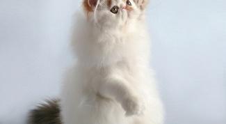 Породы кошек: персидская
