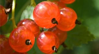 Польза и вред красной смородины