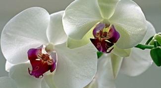 Уход за орхидеей зимой