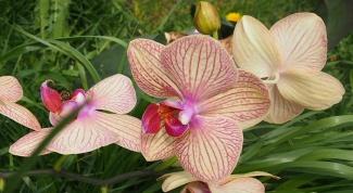 Орхидея - лучший подарок для любимой