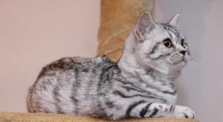 Породы кошек: скоттиш страйт