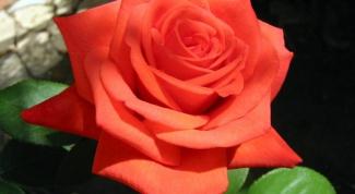 Что делать со свежими и увядшими розами?
