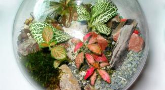 Стеклянный сад из фиттонии