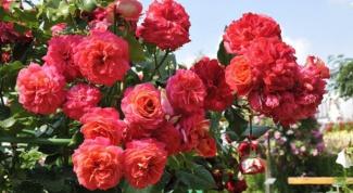 Роза флорибунда - карнавал в саду