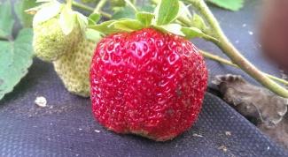 Как упростить посадку усов садовой земляники