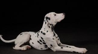 Брать ли собаку крупной породы в квартиру?