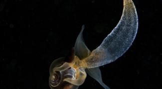 Что такое морской ангел (моллюск)