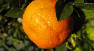 Как привить домашний апельсин