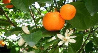 Как ухаживать за мандарином дома
