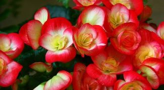 How to grow begonia from seed at home