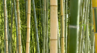 The speed with which bamboo grows