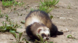 What to feed the ferret at home