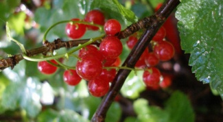 How to root the branches of currants in the water