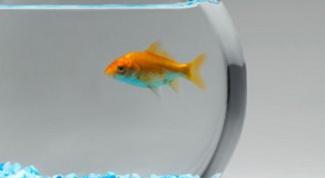 Как содержать золотую рыбку в круглом аквариуме