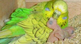 Как выкормить птенцов волнистого попугая