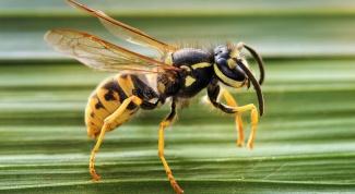 Что делать, если укусила пчела