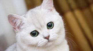 Что делать, если кошку тошнит