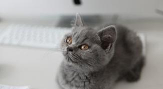 Какой породы котенок из рекламы