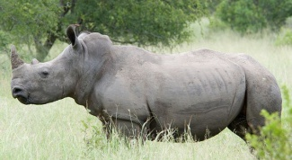 Кто такой белый носорог