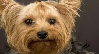 What are the different types of Yorkies