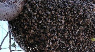 Кто такие пчелы-убийцы