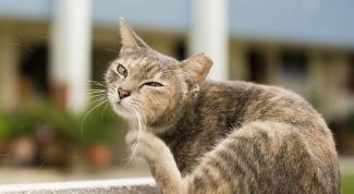 Почему кошка чешется