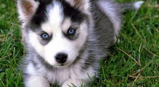 Сколько стоит собака хаски