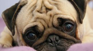 Почему у собаки гноятся глаза