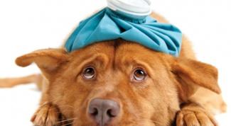 Причины сыпи на животе у собаки