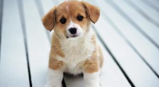 Как купить собаку на Авито в 2017 году