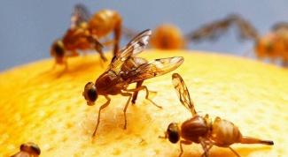 Что такое фруктовая муха