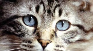 Сколько времени нужно кошкам для случки