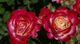 How to care for mini rose mix