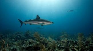 Чем полезна печень акулы