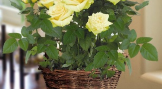Как правильно посадить розу на окне