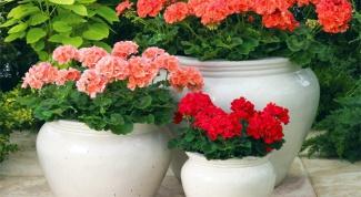 How to grow geranium