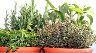 Как вырастить дома зелень и пряные травы?