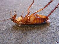Как быстро избавиться от тараканов