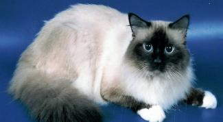 Священная бирманская кошка – воплощение изящности и красоты