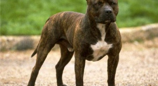 Какие самые опасные породы собак