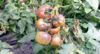 How to treat late blight of tomatoes
