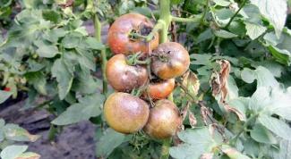 Как лечить фитофтороз томатов